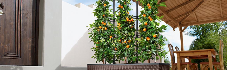 Ovoce si můžete vypěstovat i na balkoně