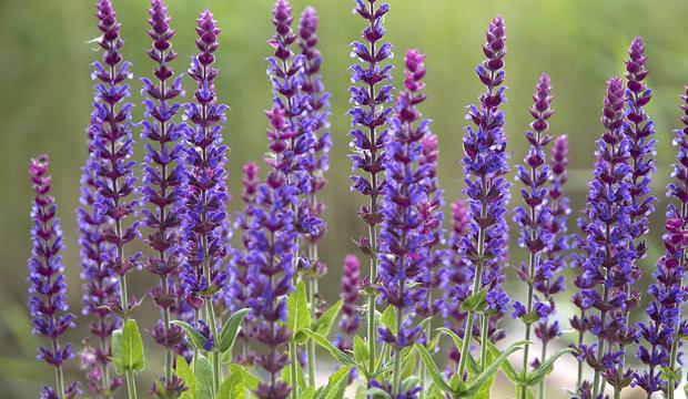 """Tradiční bylina je šalvěj lékařská neboli """"babské ucho"""""""