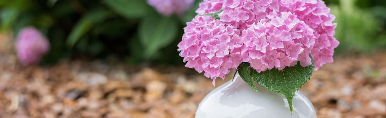 Elegantní hortenzie ozdobí každý balkon i zahradu