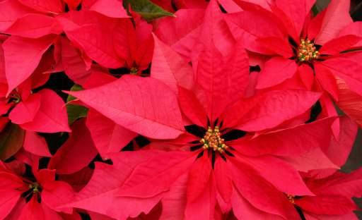 Něžná krása živých květin ve vánočně vyzdobeném interiéru