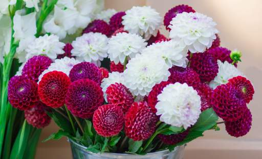 Královnou podzimních květin je kráska jiřina