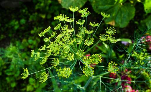 Voňavý kopr vypěstujete nejenom na záhonku, ale i v květináči na terase