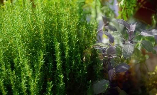 Tymián provoní každou zahradu a stane se vítaným společníkem nejenom při letním grilování