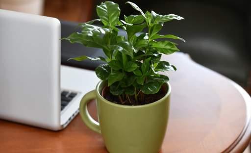 Exotický kávovník vypěstujete i v našich podmínkách. A jak na to?