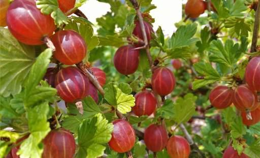 Drobné bobulovité ovoce, které roste téměř samo