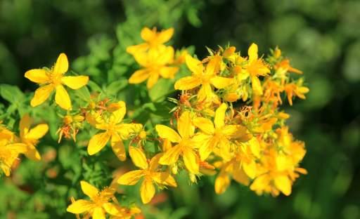 Výjimečná bylina s magickou pověstí – třezalka tečkovaná