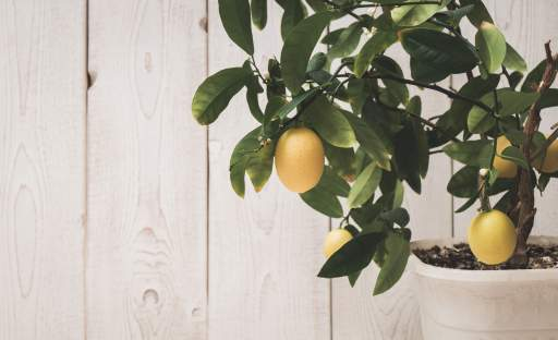 Jak si doma připomenout italské prázdniny? Vypěstujte si vlastní citrusy