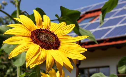 Vlastní slunce si nekoupíte, ale dá se vypěstovat v květináči nebo na zahradě