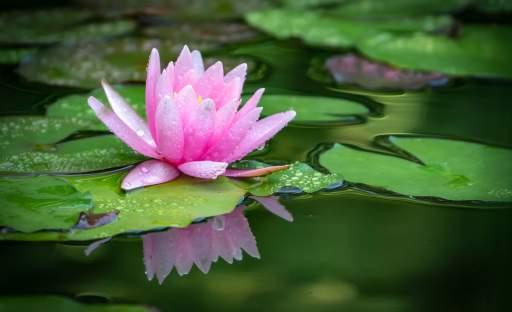 Něžné krásky plovoucí po hladině zahradního jezírka nenechají nikoho chladným