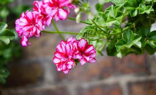 Jak na to, aby vám pelargonie dlouho a bohatě kvetly?
