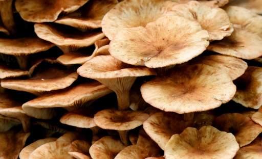 Na houby už nemusíte do lesa. Zvládnete je vypěstovat i na zahradě