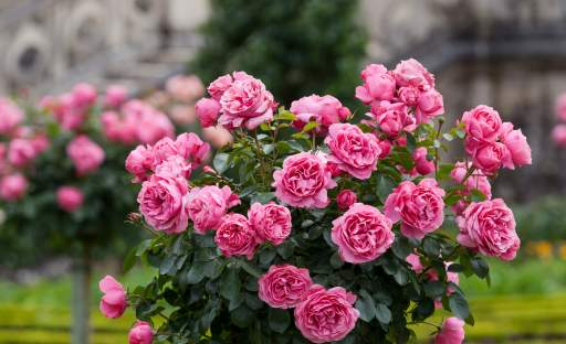 Symbol krásy a lásky. Taková je královna květin