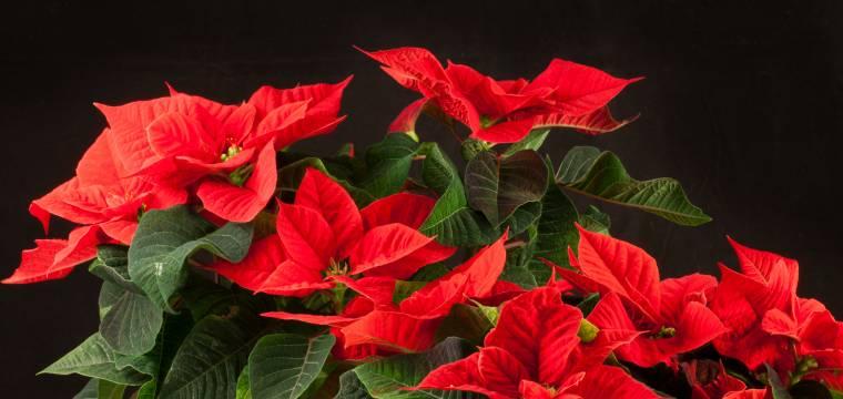 Vánoční hvězda – jak se profesionálně pěstuje, jak o ni pečovat a co vlastně symbolizuje?