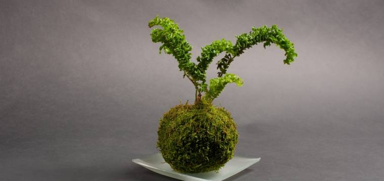 Atraktivní kokedama představuje jeden z mnoha typů japonských bonsají