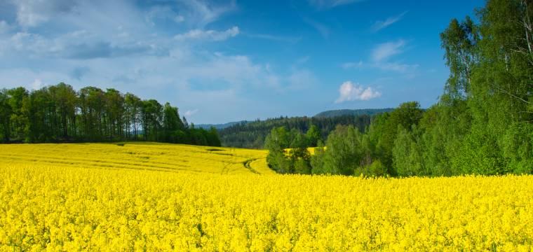 Proč je najednou všude tolik pylu? Na vině není řepka, ale jehličnany