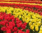 Milovníci tulipánů! Je čas vyrazit na návštěvu do Keukenhofu