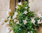 Dipladénie – exotická kráska z dalekých tropů