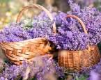 Voňavá levandule je ozdobou každé zahrady